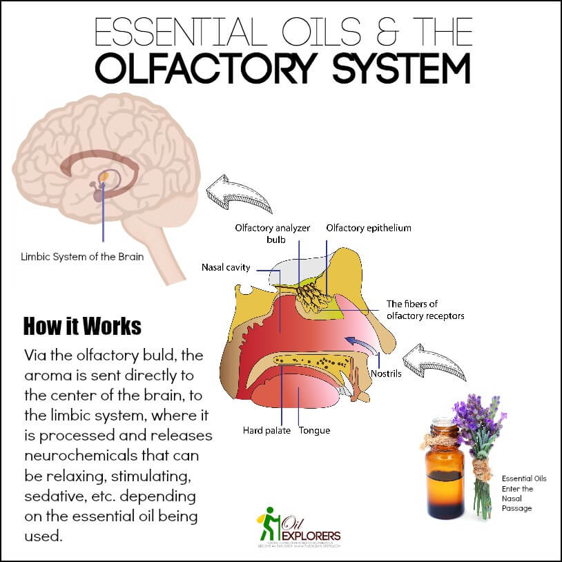 Essential Oils and the Olfactory System